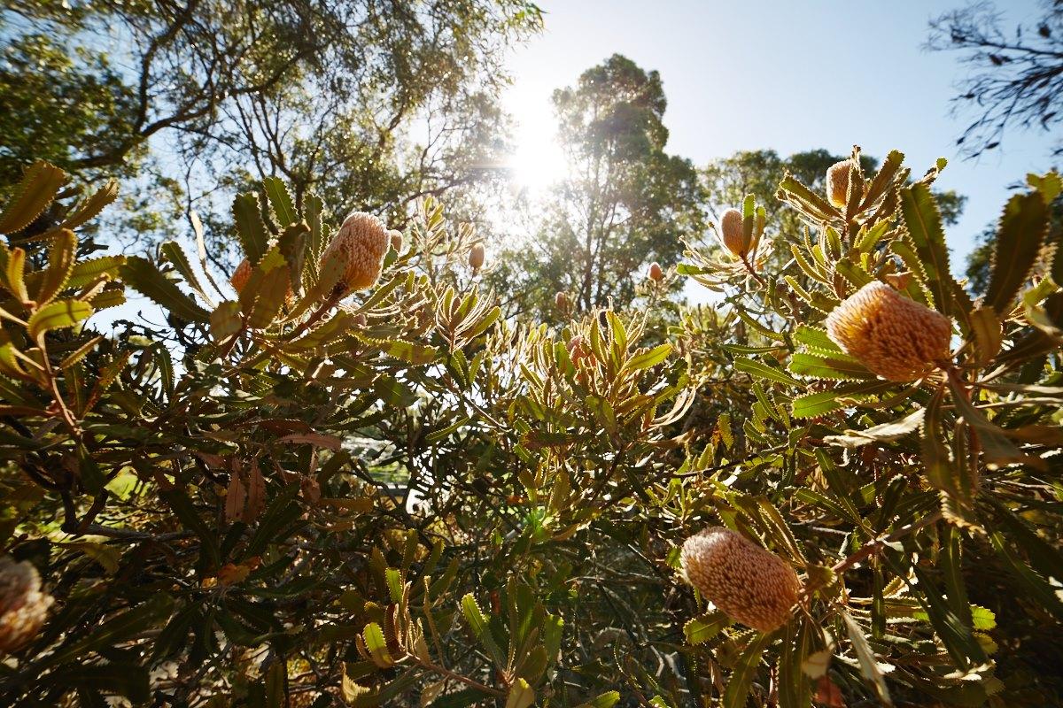 australien-41, pflanzen, sonne, park, natur