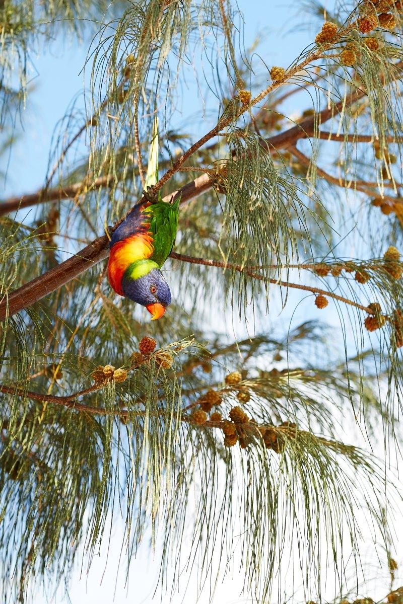 australien-43, vogel, tierwelt, papagei, baum