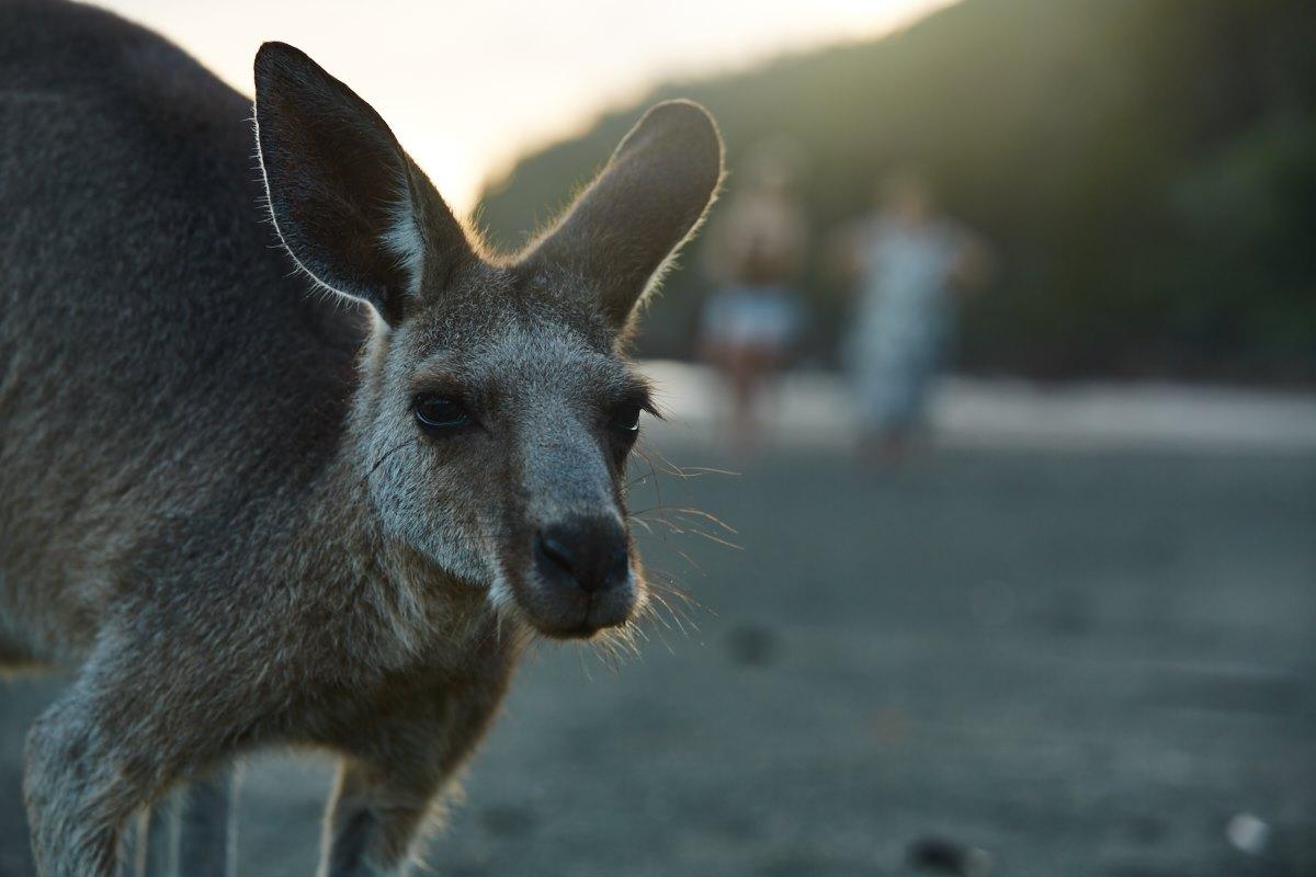 australien-30, strand, känguru, meer, morgen