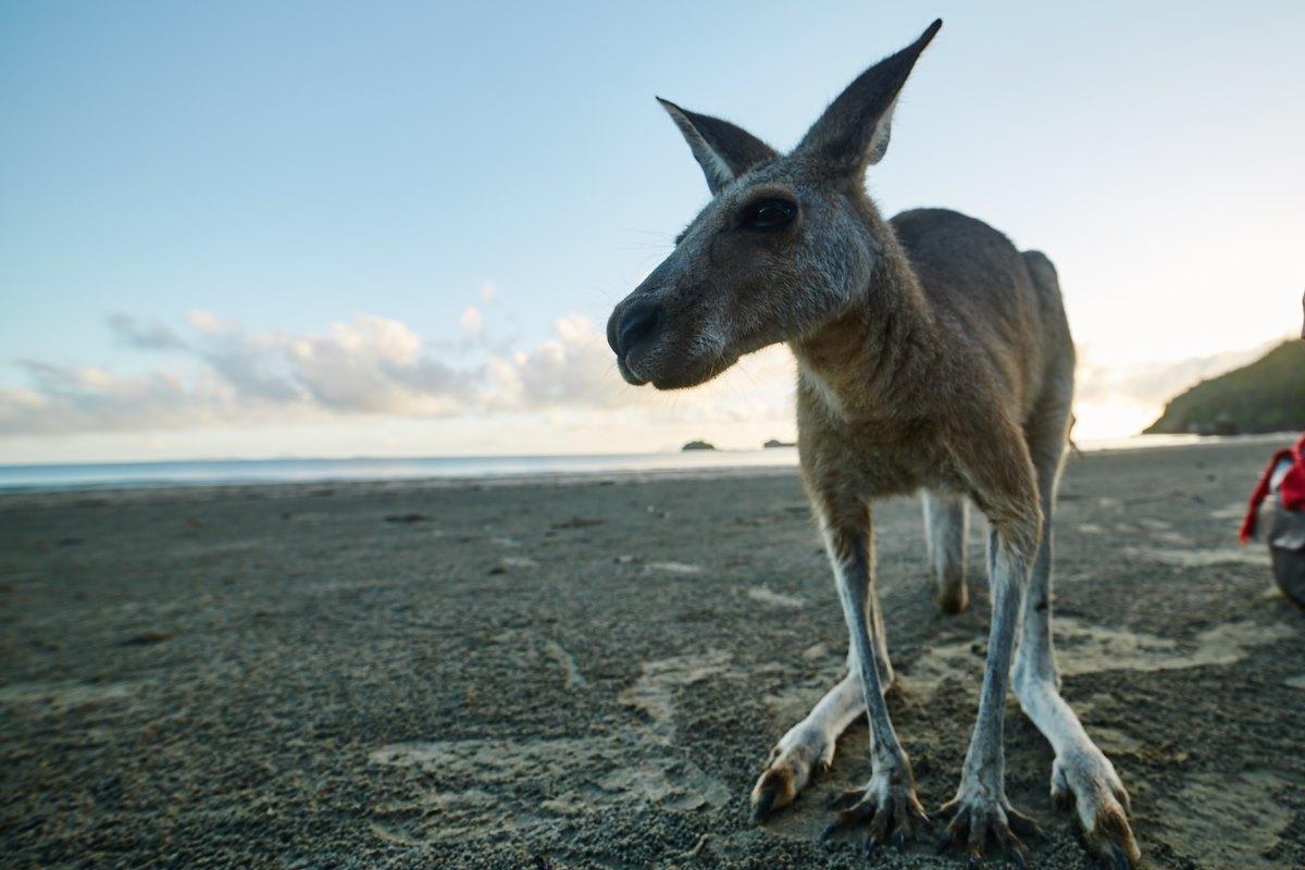 australien-29, strand, känguru, meer, morgen, weitwinkel