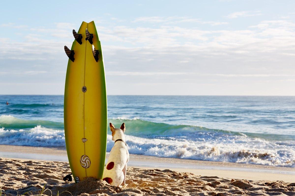 australien-19, surfbrett, hund, strand, meer